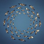 Photoshop magic turns flocks of birds into lovely patterns http://t.co/D1FQ8zOvKS http://t.co/GXV9949PP8