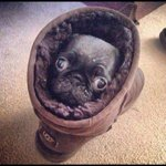Can't remember who sent this to me but......... Gotta love a pug in an ugg