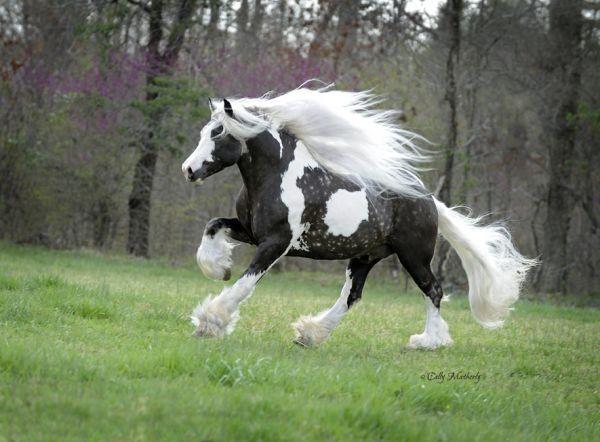 ジプシーバナーホース(Gypsy Vanner Horse)こそオーディンが乗る馬スレイプニルに相応しいと話題の写真 http://t.co/iHLnP6aoNU http://t.co/uRHoqF3LDo