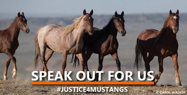 Wyoming's horses need our help! RT @FreeWildHorses: BREAKING NEWS: http://t.co/hyGPjh58c3 #justice4mustangs http://t.co/5NSSSTEFx3