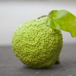 Here's a picture of the very first osage orange to grow on my farm. Interesting looking, right? http://t.co/8qjQbnWfYI