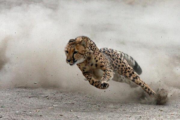 Cheetah mid-stride http://t.co/9gNSa4PKzx