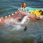 RT @Arcticband: STOP THIS! #Taiji Dolphin Hunt Awaiting Captivity and Slaughter #Tweet4taiji #opfunkill http://t.co/6JJx0fEuoa @CNN @cnni @cnnbrk