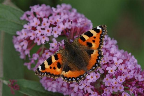 Warm summer helps small tortoiseshell butterflies fight back after years of decline http://t.co/uoMaHRFabF http://t.co/MQ75PtMXkV