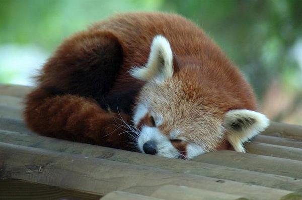 TGIF: The Firefox Red Panda has had a long week, and now it's time for a nap! (From @firefox.) http://t.co/oRtUTUfevo