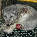 HELP US shut down over 1000 fur farms in #Finland! SIGN & SHARE the petition: http://t.co/O8X8NewCe4 #FurFreeFriday http://t.co/zQ0Wba1GMw