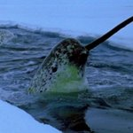 RT @BuzzFeed: This is your reminder that Narwhals are real and that's crazy http://t.co/yAiHj7ha3a http://t.co/eLzmm63orO