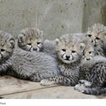 A zoo in northern Japan is asking visitors to name its cheetah quintuplets: http://t.co/1iubKoDjgY http://t.co/xaLKfw1V9Z