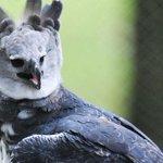 Invitan a celebrar los cinco años del águila harpía #Panamá este domingo en Parque Summit http://t.co/14WRxWXCnS http://t.co/8LojVYZ6pz