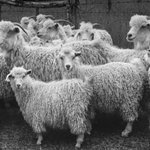 Angora: The Goat that Keeps on Giving (Alfred Eisenstaedt) http://t.co/s3A9Pbrcoe #wildlifewednesday