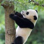 RT @g1: China presenteia Brasil com casal de pandas para o zoológico do Rio http://t.co/wHXvSGBI2V #G1 http://t.co/JlTYKLjEBL