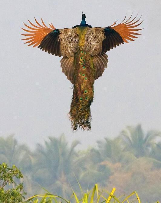 A rare image of a peacock flying: http://t.co/Cluy5qczjK