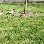RT @ANUmedia: Must be springtime #ANU #Ducks http://t.co/iofgktQdRR