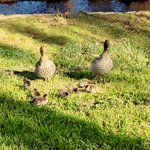 @ANUmedia @ACT_Community #ANU #Ducks Spotted this adorable family this morning http://t.co/uvuVK18H1U