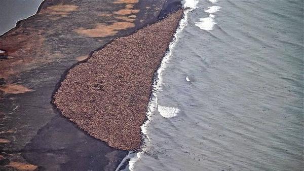 Esa mancha son 35.000 morsas varadas en la costa de Alaska debido al calentamiento global. http://t.co/ZawJ9iPjz9 http://t.co/8yckjhRDdy