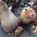 RT @JornalOGlobo: #Rio Capivara da Lagoa têm 3 filhotes: Dilma, Aécio e Marina. http://t.co/KpOsO8uKak http://t.co/rnJvOlNWP5