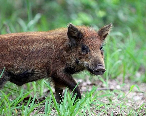This Story Is Big Again: Pig in Australia Steals 18 Beers from Campers, Gets Drunk, Fights Cow http://t.co/NxHuR79aoG http://t.co/IMSSxHFbxl