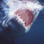 RT @Greenpeace: Shark vs shark: rare footage of a Great White Shark duel: http://t.co/V4yCPyZFeC via @guardian #sharks http://t.co/HfXNc0pwEa