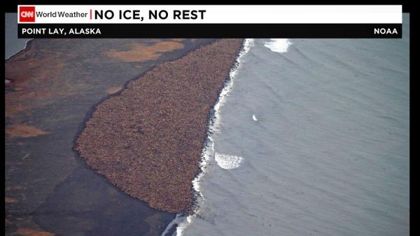 miles de morsas se refugian en playa de #Alaska -sin hielo marino no tienen donde comer, descansar o cuidar sus crias http://t.co/HVsZ094rYN