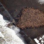 RT @JornalOGlobo: Mais de 35 mil morsas são avistadas em praia do Alasca. http://t.co/GYyVaO9pB2 http://t.co/YJR0pUkCqd