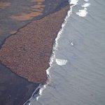 RT @g1: Enquanto os mares do ártico não congelam, grupo de 35 mil morsas se reúne no Alasca http://t.co/dMmkDLUhVD #G1 http://t.co/kUEPA8H1CV