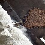 RT @marynmck: 35k walrus converge on a beach bc there's no ice to go to RT @c_leschin @ARStrasser: http://t.co/pQUSq43W8p http://t.co/U9mCPvFXh6