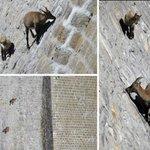 En imágenes:¿Más loco que una cabra?la vida de estos animales en los Alpes europeos lo explica http://t.co/3UPQ8ZEUh3 http://t.co/uyTwjcNb3E