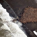 RT @pourmecoffee: 35,000 walrus that cant find sea ice are coming ashore http://t.co/LLUK15VGuL http://t.co/tVStpvycp0