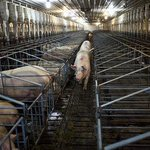 RT @WSJbusiness: Since 2013, 8 million U.S. pigs have died from a virus. Drug firms race to create a vaccine http://t.co/BS0XNn7ZIJ http://t.co/GHRop4gWfh