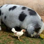Porquinho cão e galinha cultivam amizade inusitada em Piracicaba http://t.co/lLL0nnj1Ue #G1 http://t.co/mtVb7ZRFDC