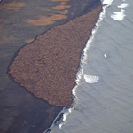 """RT @7im: Climate refugees """"@BuzzFeedNews: Walrus gather on Alaskan shores in record numbers in absence of sea ice http://t.co/NekltqZTMI"""""""