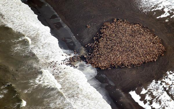 Record numbers of walruses are coming ashore to rest due to the lack of sea ice.  http://t.co/aoKmgDXNcx #Climate http://t.co/ekaocVLr4s