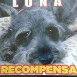 RT @AndyLaraSerna1: @MundoPatitas Hola! ¿Pueden compartir esto? se extravio en Zapopan,Jalisco en el fraccionamiento Bugambilias, Gracias http://t.co/Zq0gdlPddf