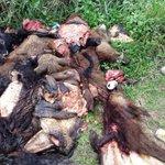 Pobladores de General Díaz, Chaco paraguayo, denuncian macabra matanza de animales silvestres http://t.co/Oln4k1kA7O http://t.co/qnowWMVcib