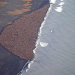 RT @livedoornews: 【異常気象?】アラスカの海岸に3万5000頭のセイウチ http://t.co/2xCKmUOQM0 当初、1500頭ほどが、この数日間で頭数が急増。専門家らは、気候変動による北極氷原の溶解に起因する現象と指摘している。 http://t.co/d3rgbqd9Fe