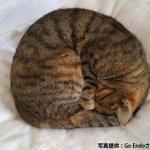 【愛猫家歓喜】寒い季節の風物詩「ニャンモナイト」出現 http://t.co/fDWmBodxKk 布団やこたつに頻繁に出現する「ニャンモナイト」(別名:猫団子)が早速あらわれたと話題に。 http://t.co/6NLMi0GCf5
