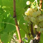 RT @TheAnamaConcept: Goodmorning from the #vineyards! #cyprus #grape #variety #xinisteri #winery #commandaria #wine #sweetwine #zoopigi http://t.co/NxMHUE8kMK