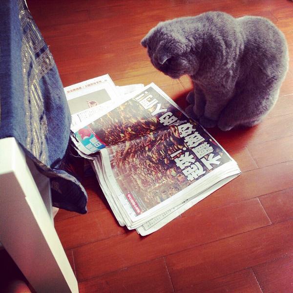 在家裡走來走去的我家貓寶,走到蘋果日報頭版前突然停下來認真看。貓寶心中一直有一個神秘小靈魂,他一定也很關心香港。 http://t.co/8ZoCmZv3Wk