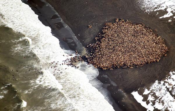 El deshielo obliga a 35.000 morsas a hacinarse en la costa de #Alaska http://t.co/csuuhCegxd http://t.co/SGT8VeUbp2