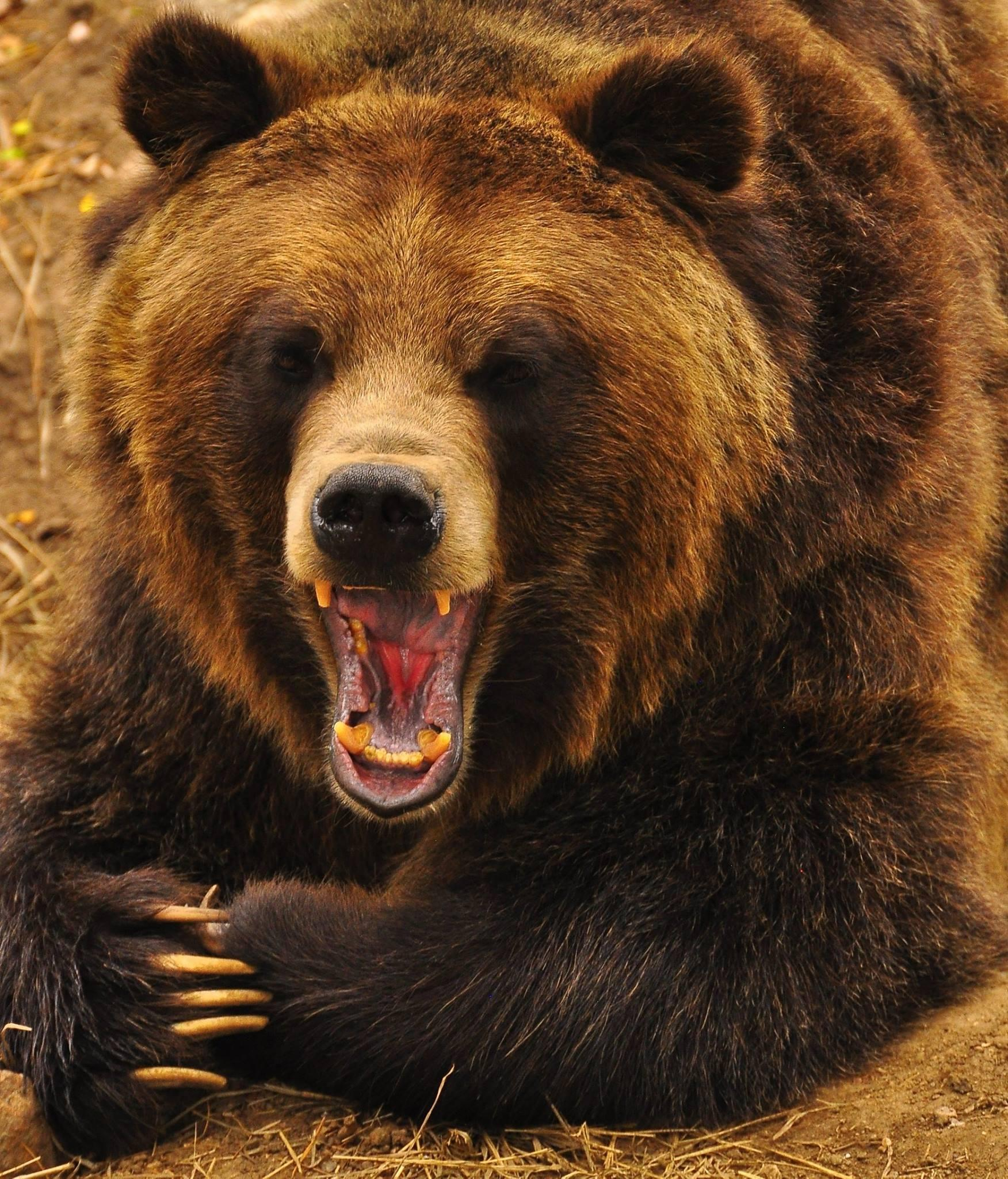 Today's #FanPhotoFriday was shared by Sheri Kerley. She captured Digger, one of #CMZoo's grizzy bears, during a yawn! http://t.co/cMTtjLlAye