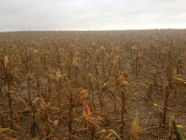 Ouch! RT @drew_halderson: Hail damage west of Beloit, KS #harvest14 http://t.co/USrDy4QkB8