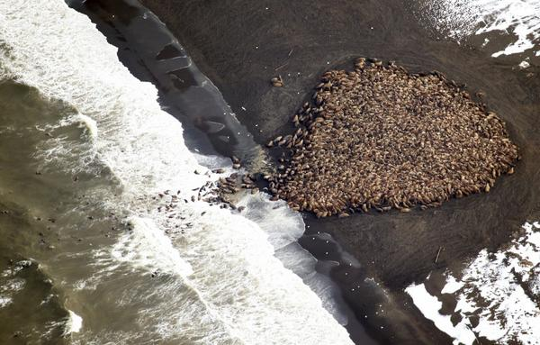 Walrus rave. RT @Reuters: 35,000 walruses are hanging out on a beach in Alaska right now. http://t.co/UDC1TqIOyK http://t.co/T5FI977SjA