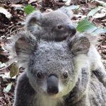 Hold on tight everyone, here we go for another week. #brisbane #lonepinekoala #thisisqueensland http://t.co/I7x8iiXrqe