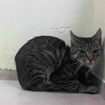 RT @URGENTPODR: Santos enjoys attention,petting & is easy to handle. Another sad face. http://t.co/kca6qkBN37 #NYC #urgent #cats http://t.co/kWoRT4Mb0N
