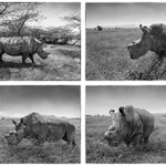 #WorldRhinoDay ~ LAST 4 breeding Northern white rhinos in THE WORLD DONT let the rest go this way! Via @aitkenimages http://t.co/1O0VM9JPCy