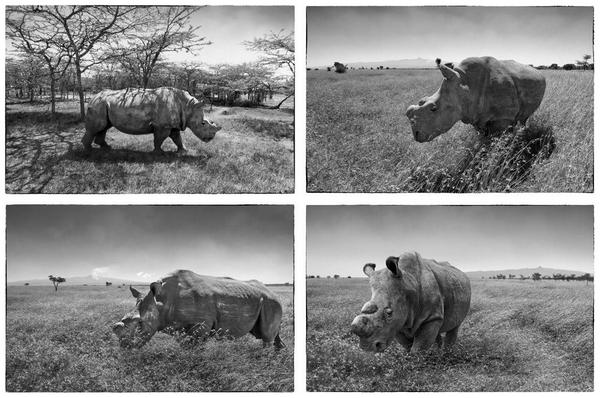 #WorldRhinoDay ~ LAST 4 breeding Northern white rhinos in THE WORLD DON'T let the rest go this way! Via @aitkenimages http://t.co/AJibwRfHRX