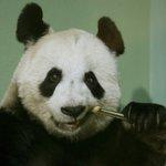"Edinburgh Zoo confirms Tian Tian the panda is ""no longer pregnant"" http://t.co/zbySi2Ordd"
