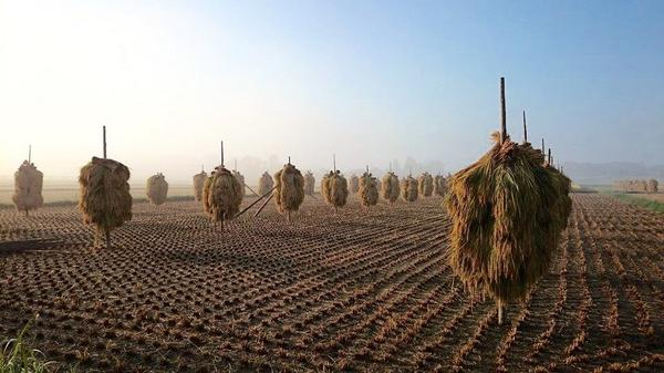 奥州市は稲刈りシーズン真っ只中! http://t.co/m0JbYTEYb8