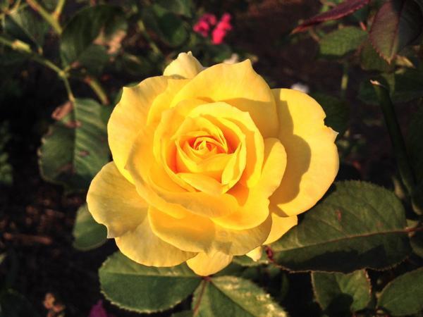 Aperitif tea rose blooming in my garden. http://t.co/JiLwSLbyze