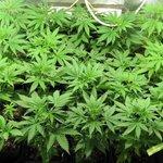 RT @A3Noticias: Detenido un hombre de 73 años que cultivaba marihuana en su huerto http://t.co/UOzrSz3N8z http://t.co/P4GSBCWPHO